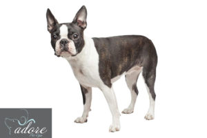 09.-Boston-Terrier