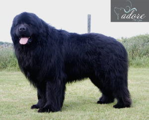 Black-Giant-Newfoundland-Dog