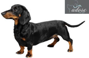 file_23020_dachshund-dog-breed