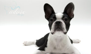 Boston Terrier Dog on White Background